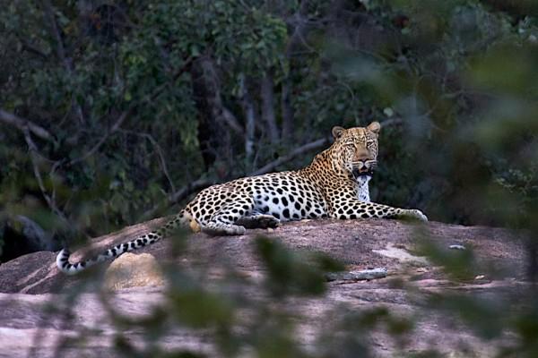 big leopard Big Cave